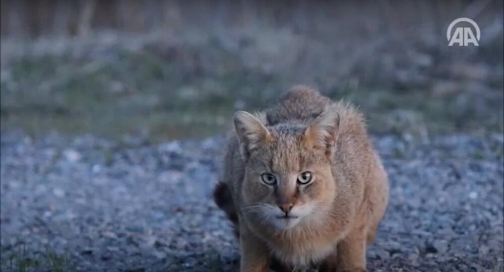 至近距離で撮影された野生のジャングルキャット(jungle cat、Swamp Lynx、Felis chaus) in トルコ
