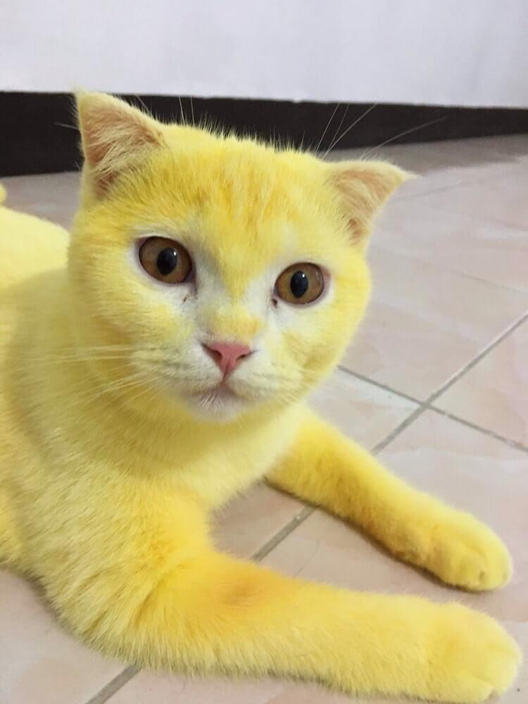 ターメリックで黄色に染められたタイの猫