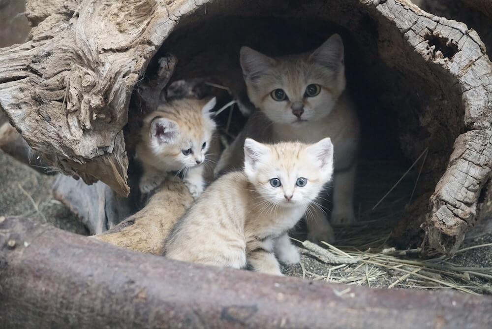 巣箱の中から外を見つめるスナネコの親子(赤ちゃん姉妹×母猫)