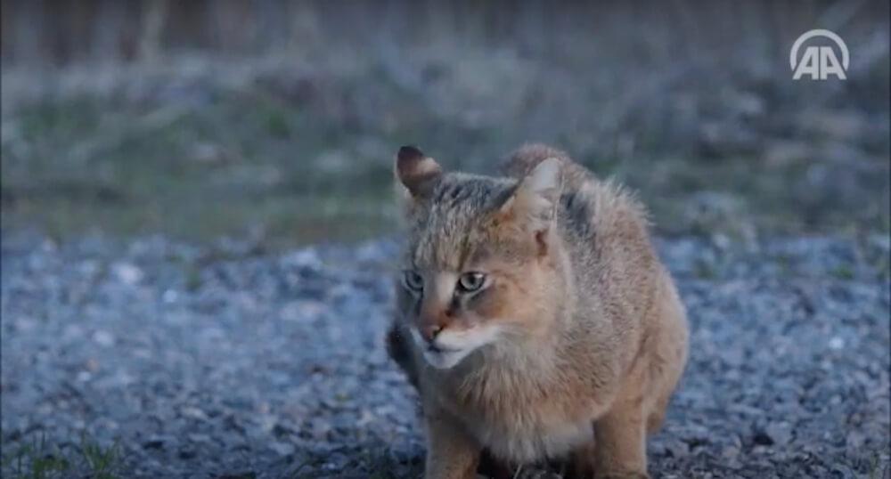 野生のジャングルキャット(jungle cat、Swamp Lynx、Felis chaus) in トルコ