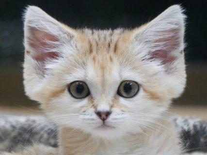 スナネコをお家で見たくない?赤ちゃんから子猫になるまでの成長記録映像がDVDで発売決定「砂漠の天使スナネコ成長日記」