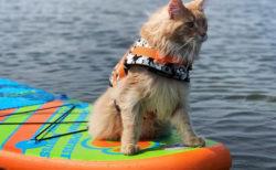 米国・フロリダに夏と海が似合う猫がいたッ!ウォータースポーツも楽しむフィッシャーくん