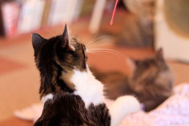 人間に遊んでもらっている猫のイメージ写真
