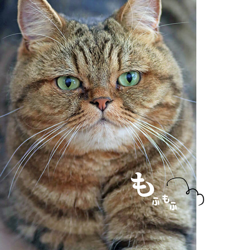 貫禄たっぷりのキジトラ猫の写真 by キジトラ猫だけ!