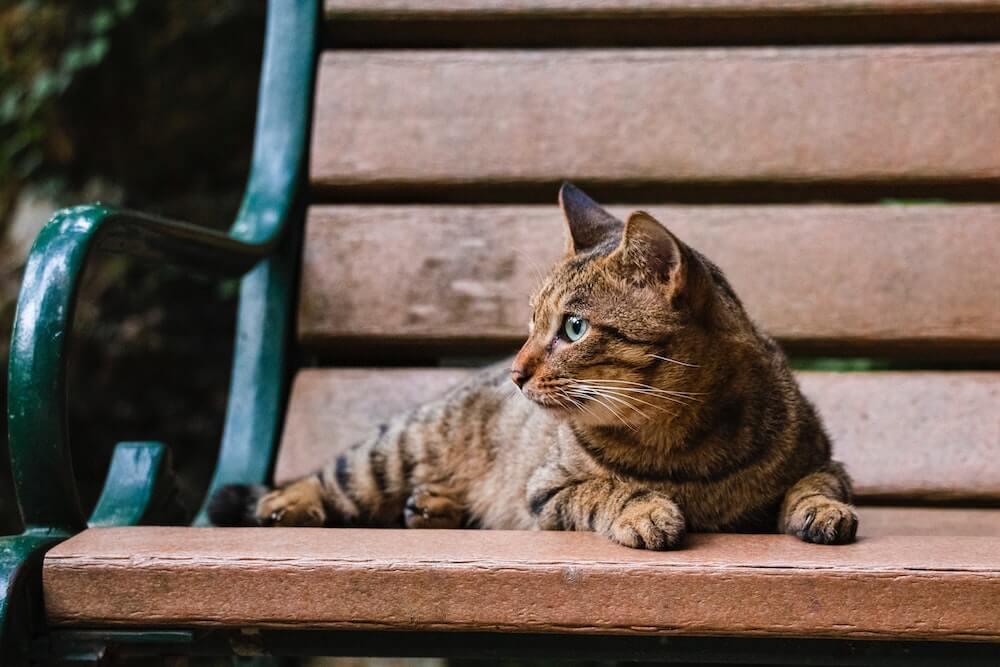 ベンチに座るキジトラの横顔イメージ写真