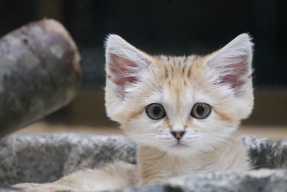 大きな耳が特徴的なスナネコの女の子(アミーラ)の正面拡大写真 by 那須どうぶつ王国