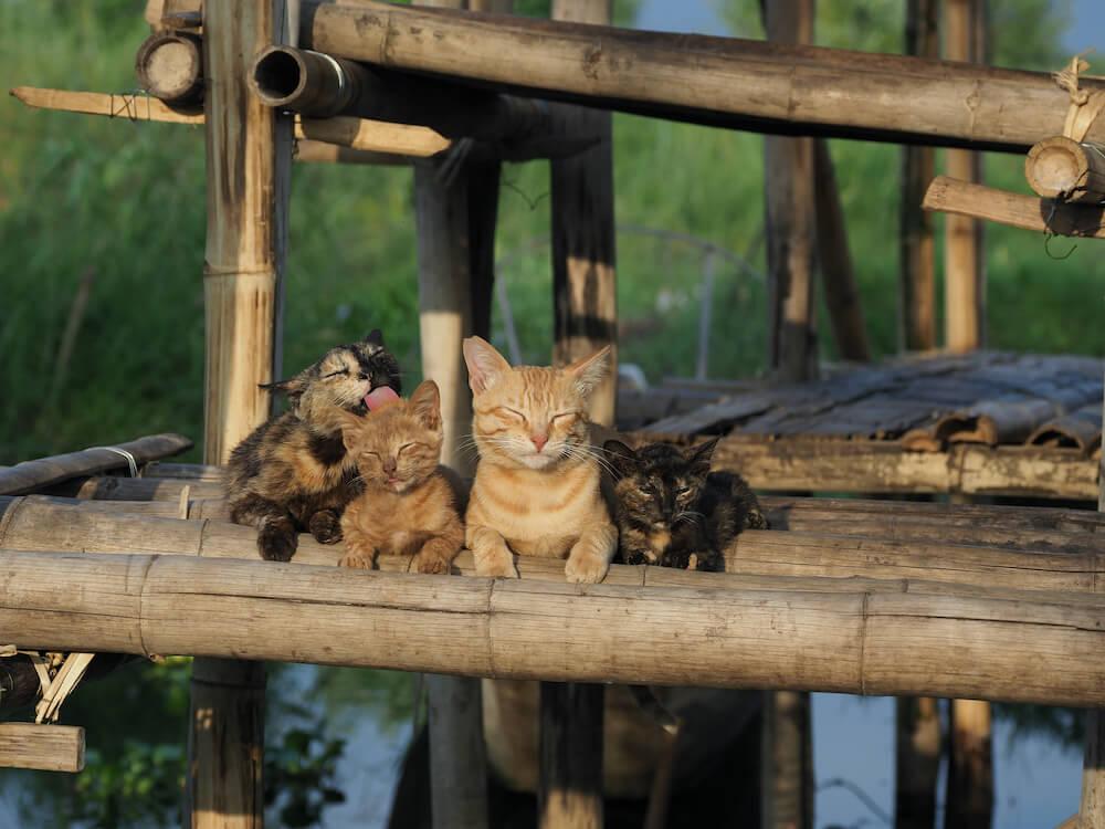 ミャンマー・インレー湖の水上で暮らす猫たち by 映画『劇場版 岩合光昭の世界ネコ歩き あるがままに、水と大地のネコ家族』のワンシーン