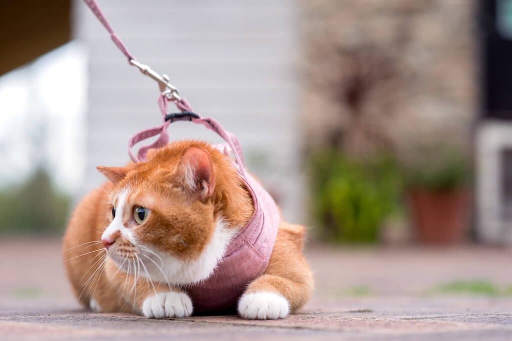 リードがセットになった「猫に優しいベスト型ハーネス」を装着した猫 by ぽぽねこ