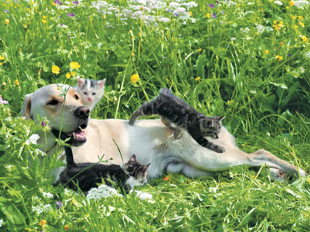スイスのヴェンゲンで撮影された大型犬と戯れる子猫たちの写真 by 岩合光昭