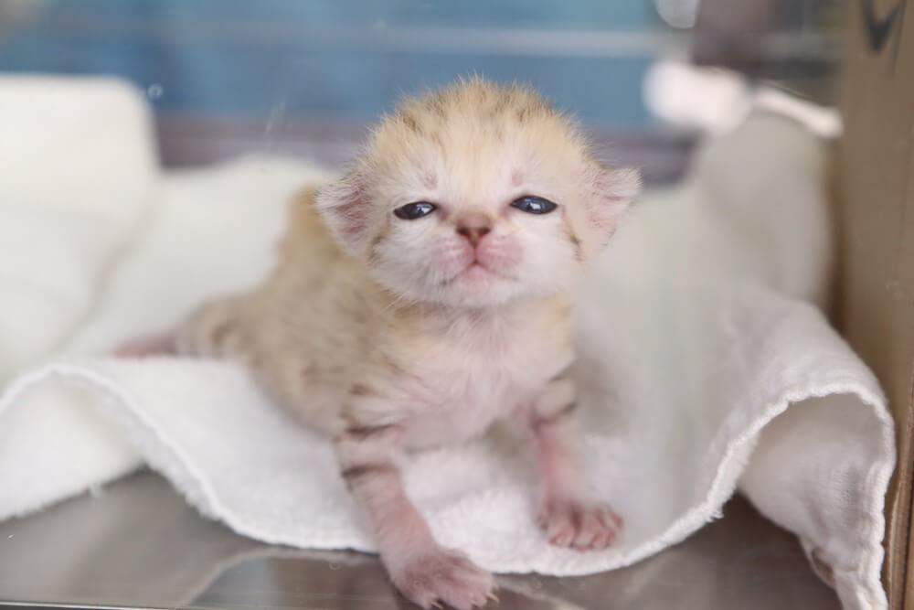 衰弱状態だったものの懸命な人工哺育によって一命をとりとめたスナネコの赤ちゃん(アミーラ) by 那須どうぶつ王国