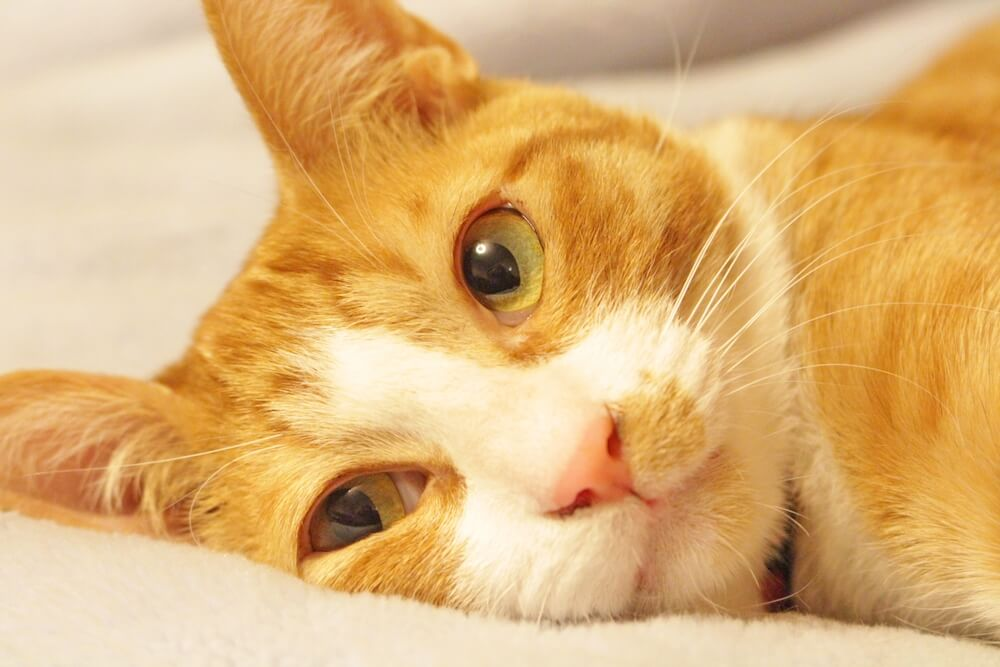 横たわる茶白猫のイメージ