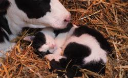猫が牛と一緒にお昼寝してる…?映画「岩合光昭の世界ネコ歩き」第2弾の場面写真が解禁