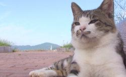 東北の猫島・田代島で愛された「ねこ太郎」とは?生前の姿を記録した映像がDVDで登場