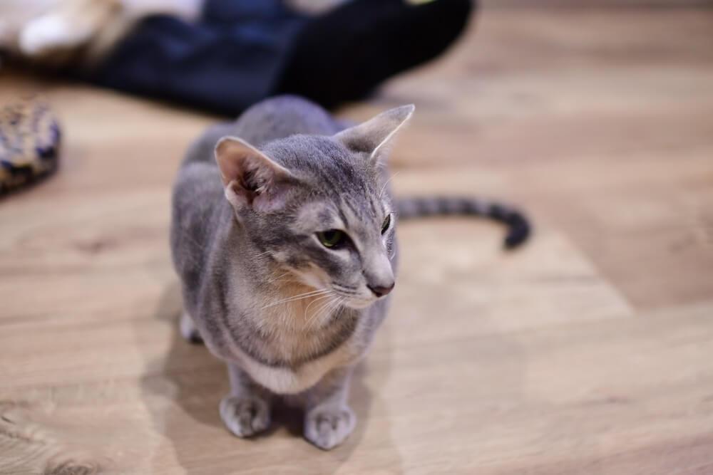 オリエンタルショートヘアの「シン」くん by 猫カフェ「Cats House ねこや」