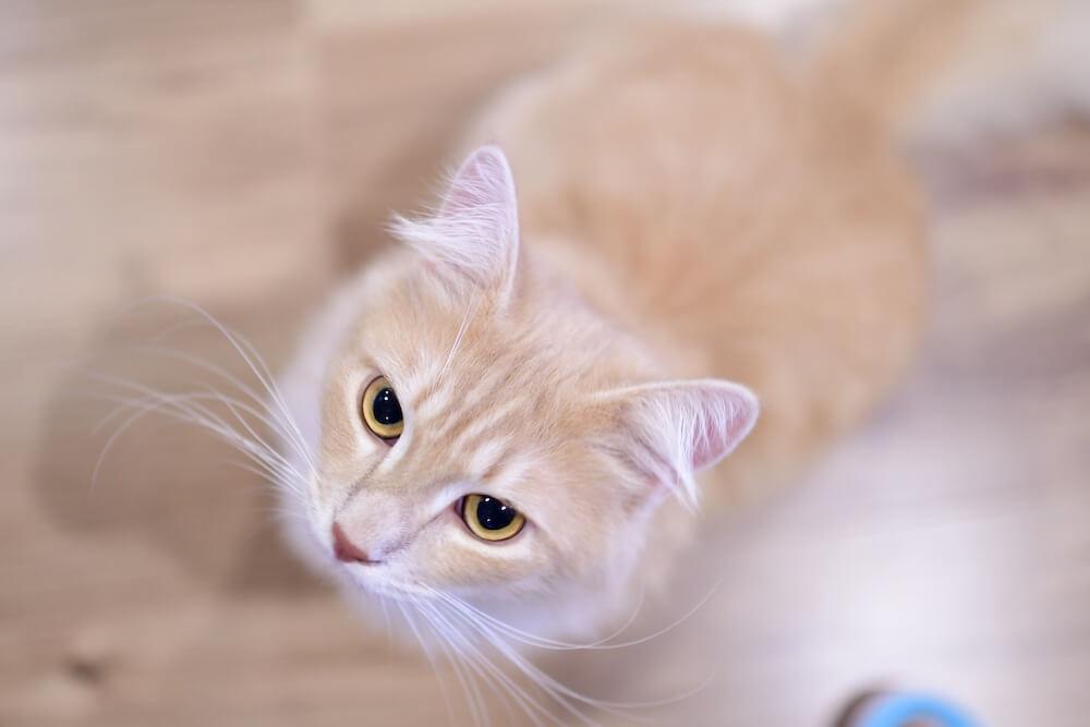 サイベリアンの「ネロ」くん by 猫カフェ「Cats House ねこや」
