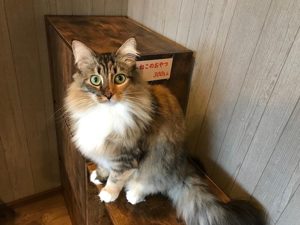 サイベリアンの「アルル」ちゃん by 猫カフェ「Cats House ねこや」