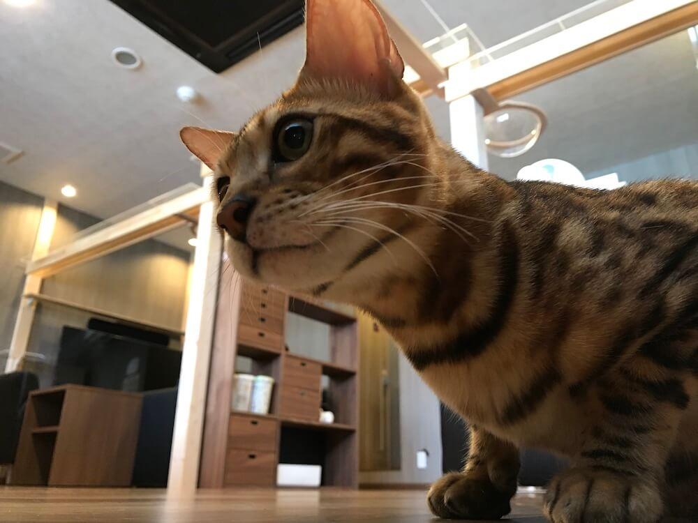 ベンガル猫の「アルマ」くん by 猫カフェ「Cats House ねこや」