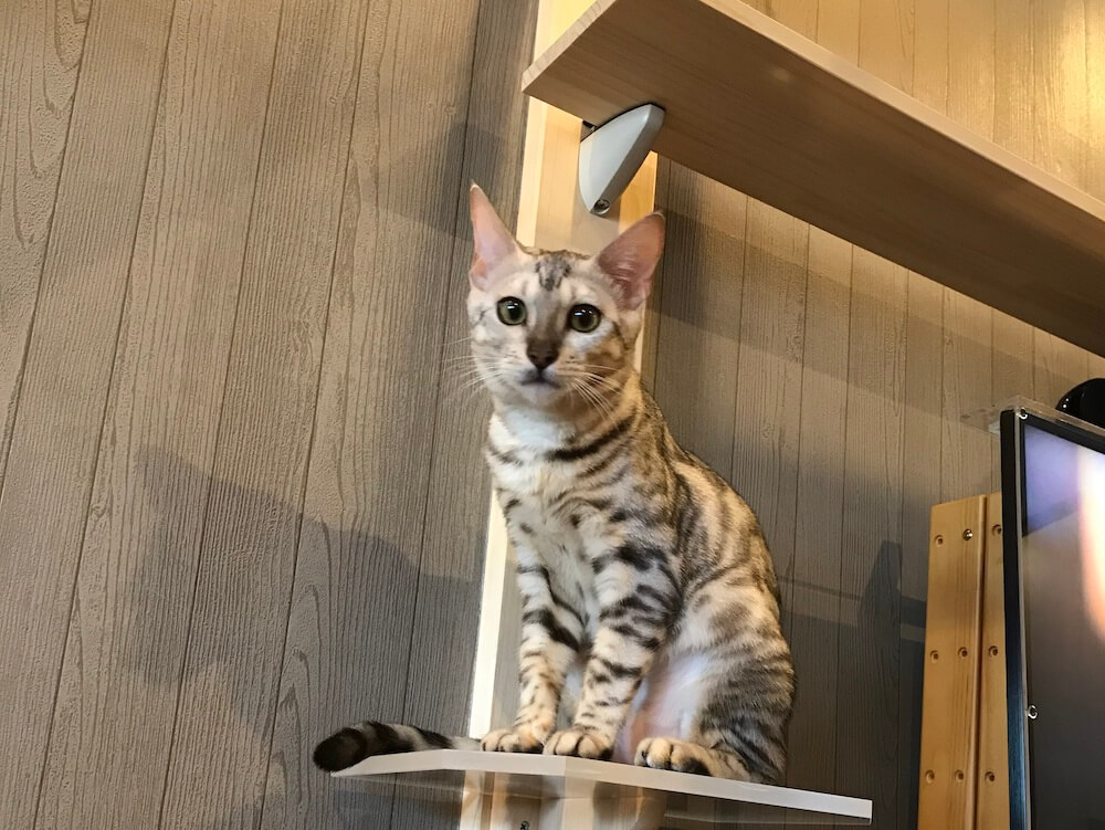 ベンガル猫の「ラム」ちゃん by 猫カフェ「Cats House ねこや」