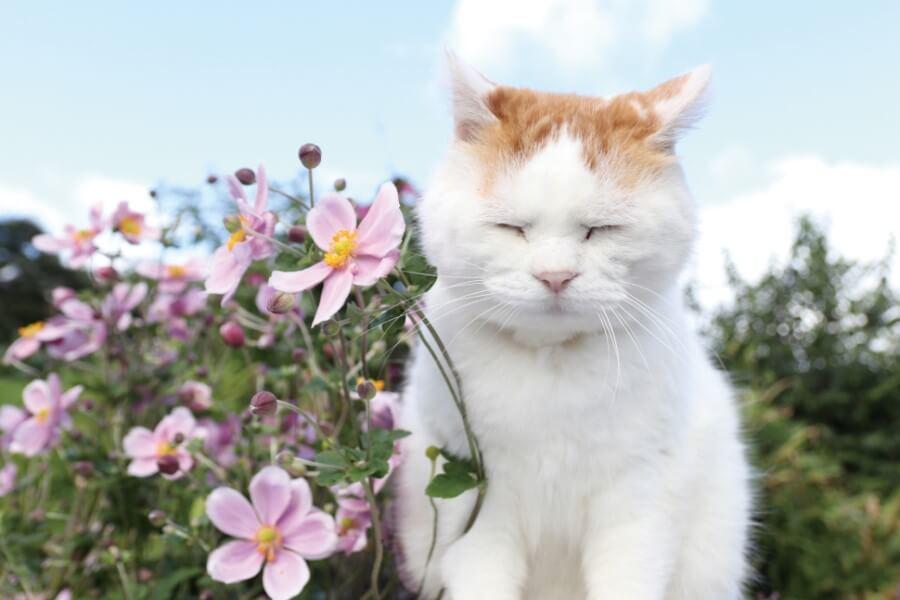 お花の前でウトウトするかご猫・のせ猫の「シロ」