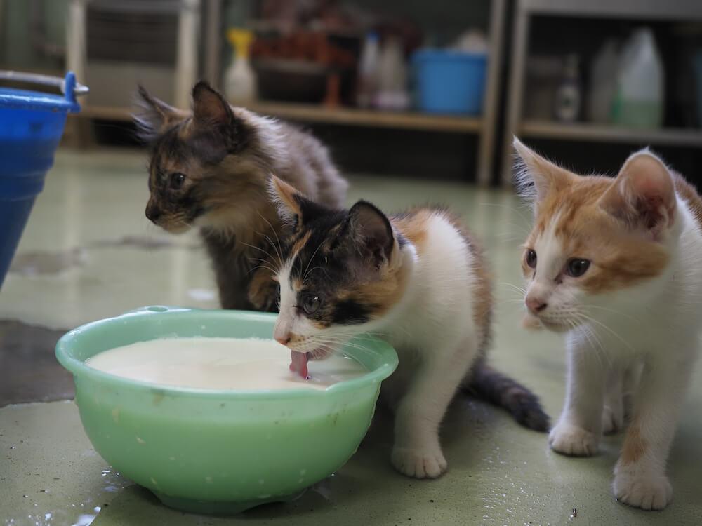 牧場で搾りたての牛乳を飲む猫の写真 by 映画「劇場版 岩合光昭の世界ネコ歩き あるがままに、水と大地のネコ家族」