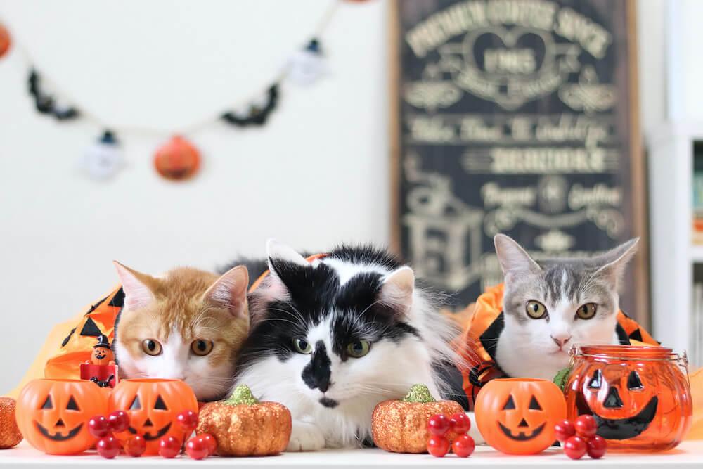 ハロウィンで仮装した3匹の猫の写真 by Riepoyonn