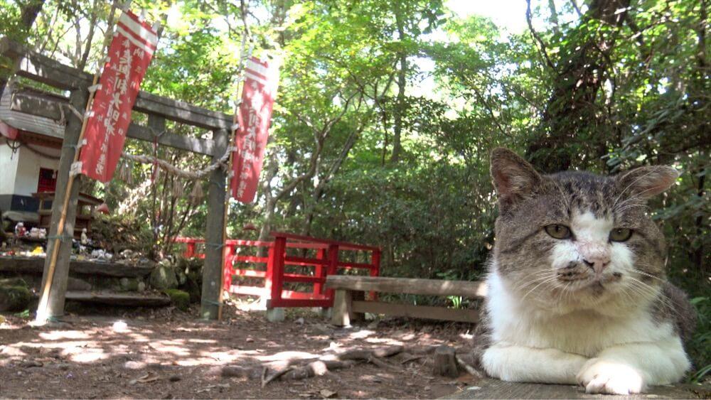 猫神社でくつろぐ田代島の人気猫・ねこ太郎の様子