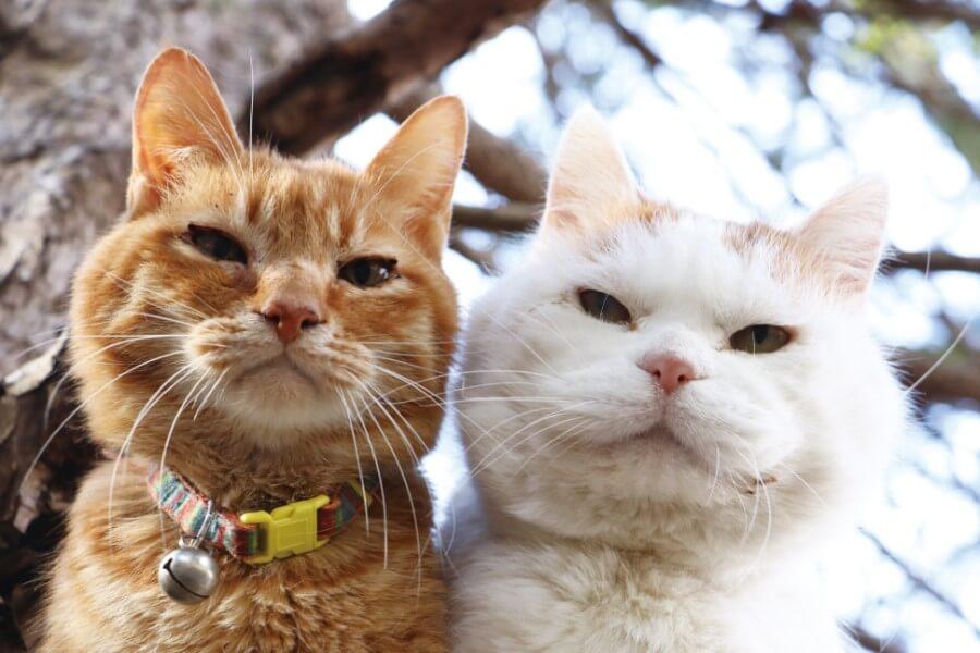 かご猫・のせ猫として人気の白猫「シロ」と茶トラの2ショット写真