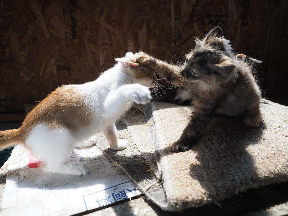 猫パンチをしながらじゃれ合う兄弟猫の写真 by 映画「劇場版 岩合光昭の世界ネコ歩き あるがままに、水と大地のネコ家族」