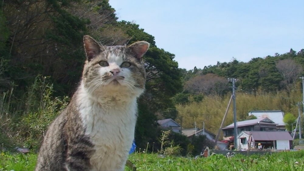 田代島の大泊で放浪中の人気猫・ねこ太郎の様子