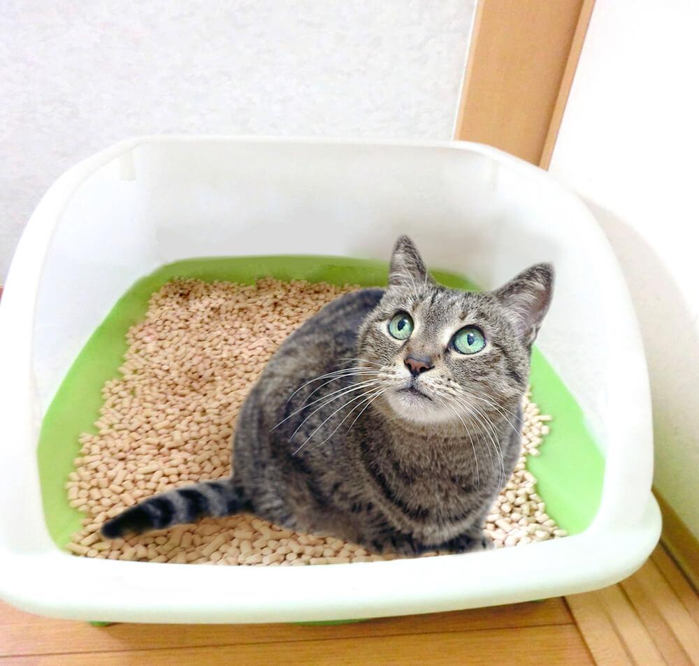 猫トイレに入って用を足す猫の写真