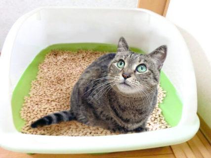 やばい!猫砂食べちゃった!アナタならどうする!?猫砂 杉にゃん
