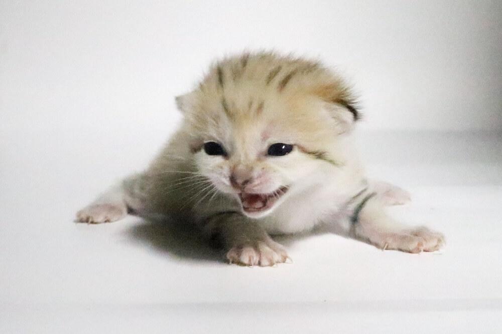 神戸どうぶつ王国で11月に産まれたスナネコの赤ちゃん(オス猫)