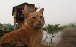ミャンマーの猫が湖で豪快にダイブ!映画「岩合光昭の世界ネコ歩き」第2弾の予告映像が公開