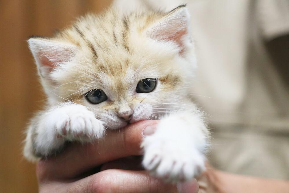 飼育員の手を噛むスナネコ@神戸どうぶつ王国