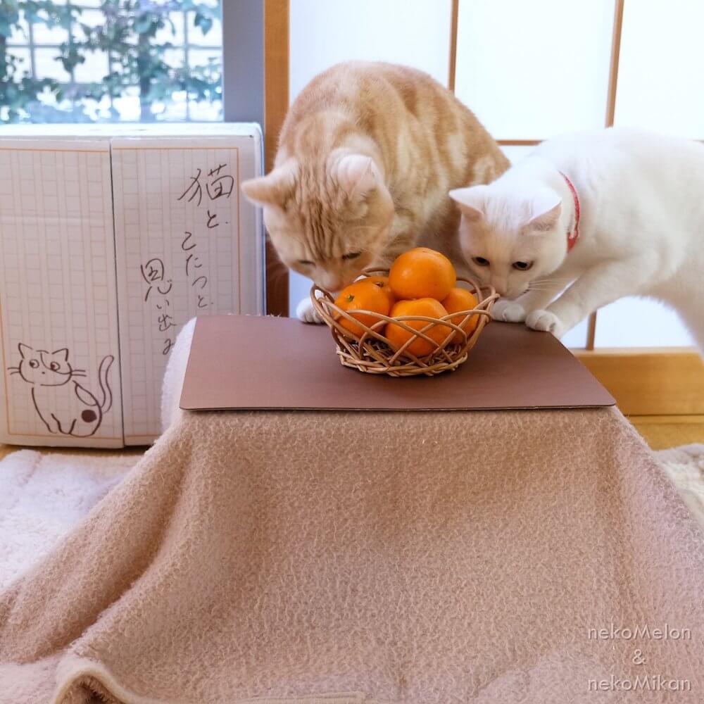 猫用のこたつの上にあるミカンの匂いを嗅ぐ猫たち