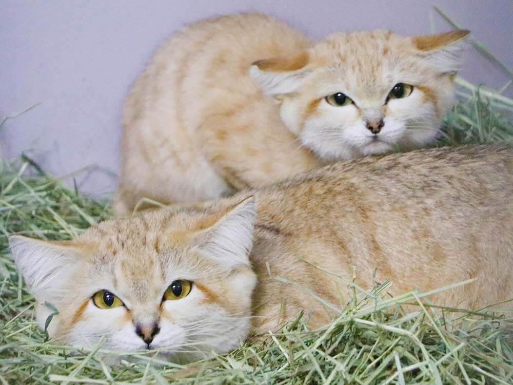 神戸どうぶつ王国で飼育しているスナネコの成猫(父猫・母猫)