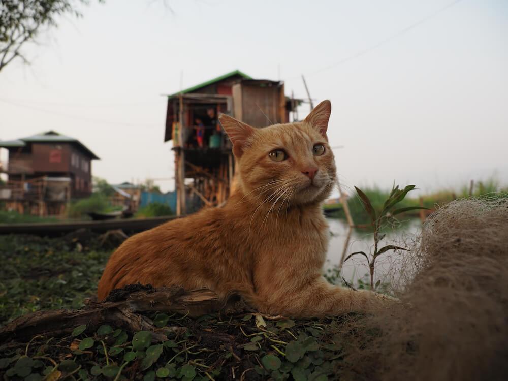 ミャンマーのインレー湖上で暮らす茶トラ猫 by 映画『劇場版 岩合光昭の世界ネコ歩き あるがままに、水と大地のネコ家族』