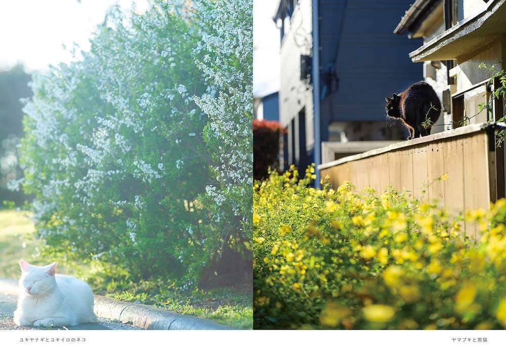 ユキヤナギと白猫、ヤマブキと黒猫の写真 by 阪井壱成