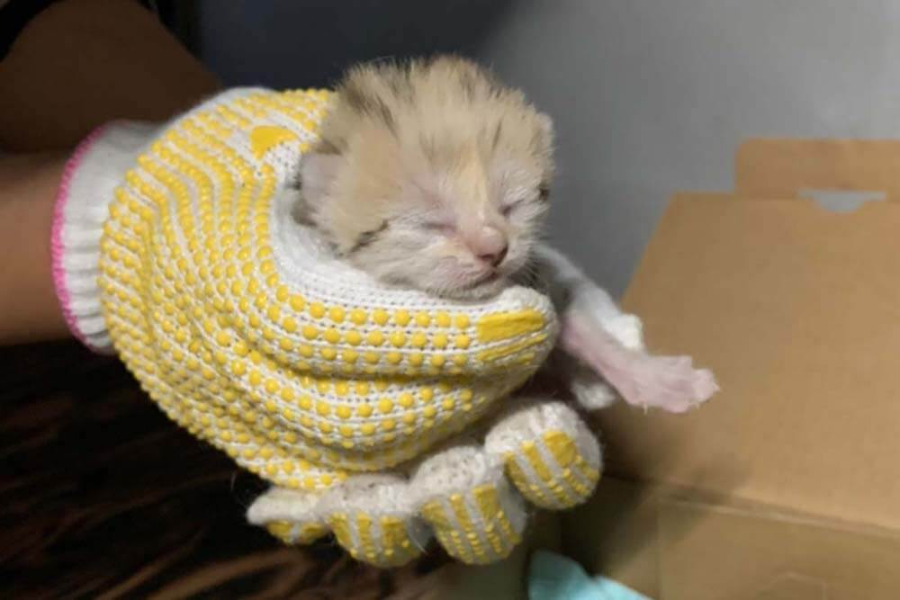 神戸どうぶつ王国で誕生したスナネコの第2子のオス猫、生後7日目の様子(飼育スタッフに手で掴まれている状態)