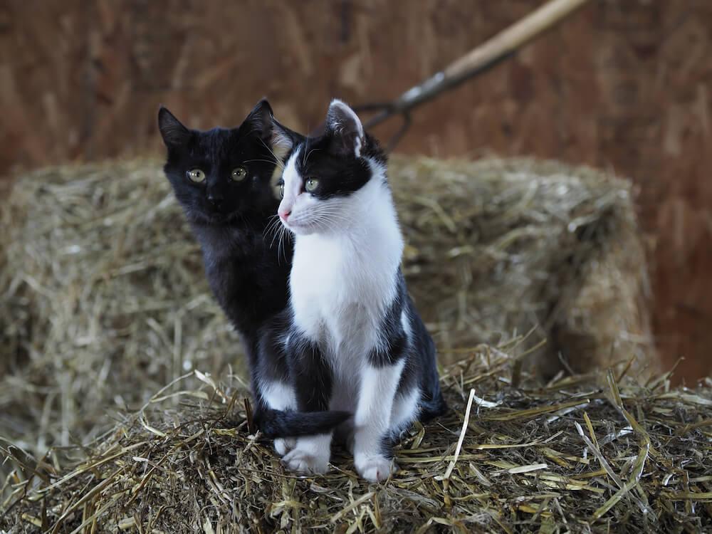 北海道の牧場で暮らす黒猫&ハチワレ猫 by 映画『劇場版 岩合光昭の世界ネコ歩き あるがままに、水と大地のネコ家族』
