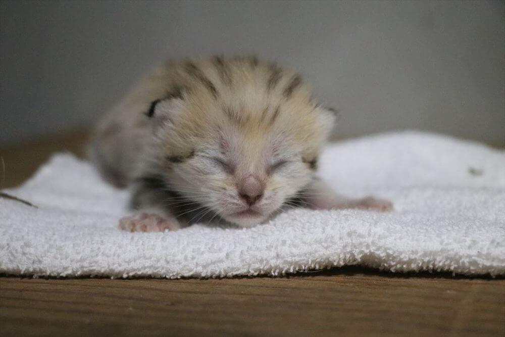 神戸どうぶつ王国で誕生した第2子のオス猫、生後11日目の様子(目が開いていない状態)