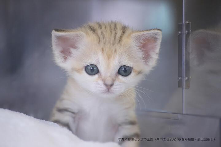 顔立ちがはっきりしてきたスナネコの赤ちゃん by 那須どうぶつ王国