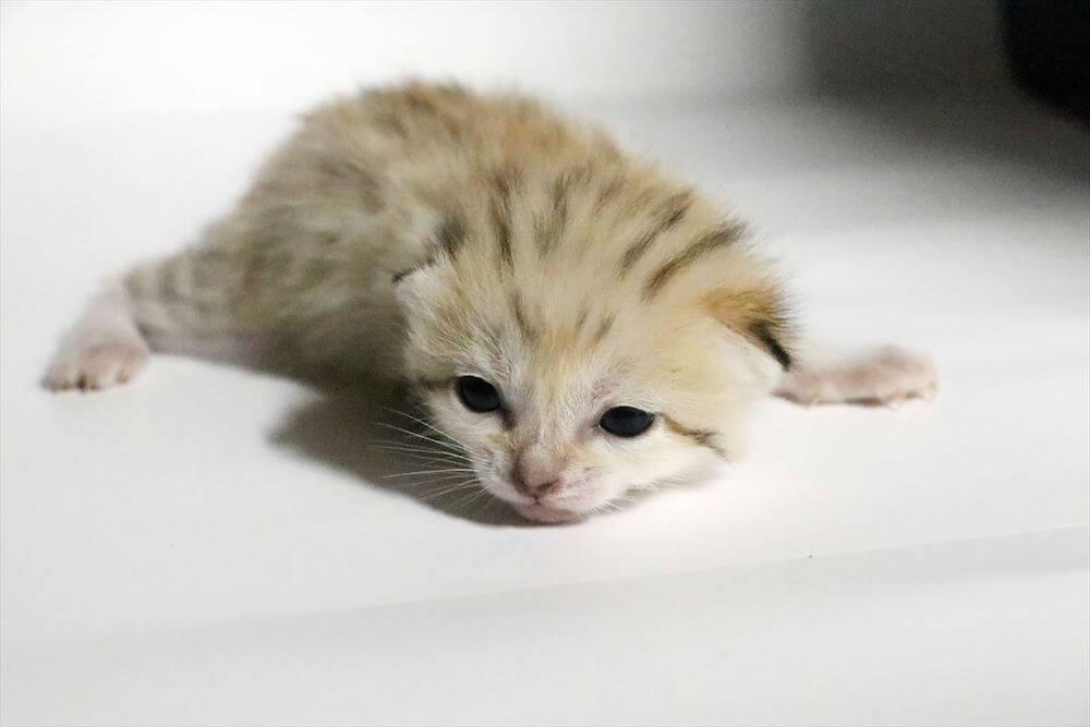 神戸どうぶつ王国で誕生した第2子のオス猫、生後15日目の様子(うつ伏せで目を開けた状態)