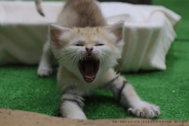 あくびをしながら伸びをするスナネコの子猫 by 那須どうぶつ王国