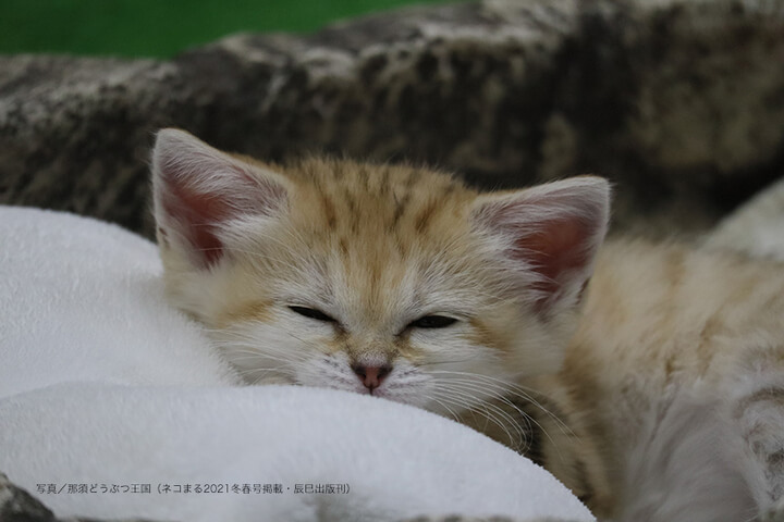 眠っているスナネコの子供 by 那須どうぶつ王国