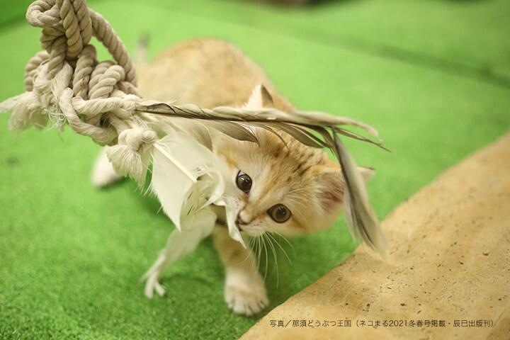 ロープのおもちゃに噛み付いて遊ぶスナネコの子供 by 那須どうぶつ王国
