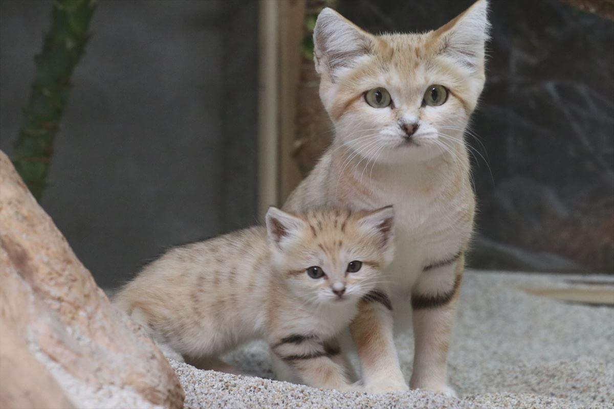 神戸どうぶつ王国で始まったスナネコの親子展示(母ネコと赤ちゃん)