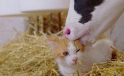 猫の毛づくろいを始めたのは…なんと子牛!映画『劇場版 岩合光昭の世界ネコ歩き あるがままに、水と大地のネコ家族』の新予告映像が公開