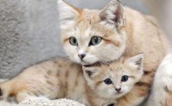 スナネコの育児姿が見られるかも!?神戸の動物園が赤ちゃんとママの親子展示をスタート