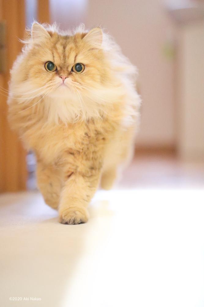ねこミュニケーターのnanonya.Akiこと、中尾亜希さんの愛猫で20歳を迎えた「にゃんちー」